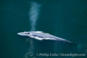 Blue whale, exhaling as it surfaces from a dive, aerial photo.  The blue whale is the largest animal ever to have lived on Earth, exceeding 100' in length and 200 tons in weight, Balaenoptera musculus, Redondo Beach, California