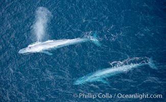 Blue whale, exhaling in a huge blow as it swims at the surface between deep dives.  The blue whale's blow is a combination of water spray from around its blowhole and condensation from its warm breath, Balaenoptera musculus, La Jolla, California