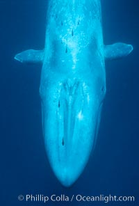 Blue whale with remora, Balaenoptera musculus
