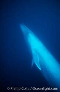 Blue whale underwater, Baja California, Balaenoptera musculus