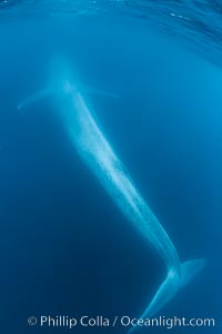 Blue whale underwater closeup photo.  This incredible picture of a blue whale, the largest animal ever to inhabit earth, shows it swimming through the open ocean, a rare underwater view.  Over 80' long and just a few feet from the camera, an extremely wide lens was used to photograph the entire enormous whale, Balaenoptera musculus