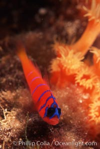 Bluebanded goby, Catalina, Lythrypnus dalli, Catalina Island, copyright Phillip Colla Natural History Photography, www.oceanlight.com, image #05149, all rights reserved worldwide.