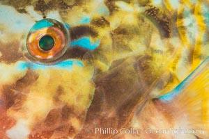Bluechin Parrotfish Eye Detail, Scarus ghobban, Sea of Cortez, Isla Cayo, Baja California, Mexico