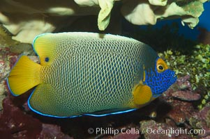 Blue face angelfish., Pomacanthus xanthometopon, natural history stock photograph, photo id 07855