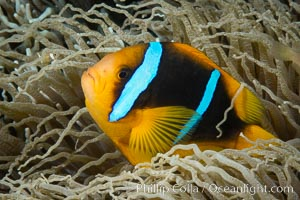 Bluestripe clownfish, Amphiprion chrysopterus, Fiji. Fiji, Amphiprion chrysopterus, natural history stock photograph, photo id 34865