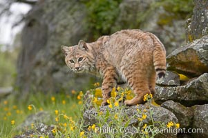 Bobcat, Sierra Nevada foothills, Mariposa, California., Lynx rufus, natural history stock photograph, photo id 15915