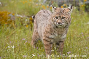 Bobcat, Sierra Nevada foothills, Mariposa, California., Lynx rufus, natural history stock photograph, photo id 15916