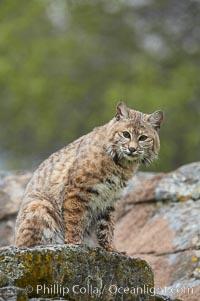 Bobcat, Sierra Nevada foothills, Mariposa, California., Lynx rufus, natural history stock photograph, photo id 15923