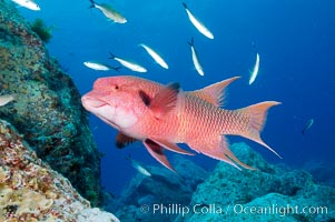 Mexican hogfish, adult male showing fleshy bump on head. Guadalupe Island (Isla Guadalupe), Baja California, Mexico, Bodianus diplotaenia, natural history stock photograph, photo id 09609