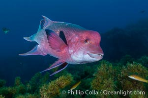 Mexican hogfish, adult male showing fleshy bump on head. Guadalupe Island (Isla Guadalupe), Baja California, Mexico, Bodianus diplotaenia, natural history stock photograph, photo id 09618
