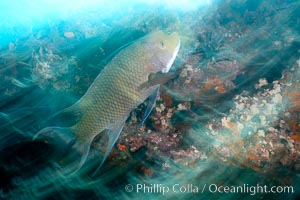 Galapagos hogfish, motion blur. Cousins, Galapagos Islands, Ecuador, Bodianus eclancheri, natural history stock photograph, photo id 16364