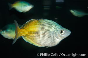 Boesemans rainbowfish., Melanotaenia boesemani, natural history stock photograph, photo id 09283