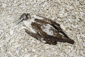Booby Bird Carcass on Barren Coral Rubble Beach, Clipperton Island. Clipperton Island, France, natural history stock photograph, photo id 33095