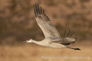Sandhill crane spreads its broad wings as it takes flight in early morning light.  This crane is one of over 5000 present in Bosque del Apache National Wildlife Refuge, stopping here during its winter migration. Bosque del Apache National Wildlife Refuge, Socorro, New Mexico, USA, Grus canadensis, natural history stock photograph, photo id 21797