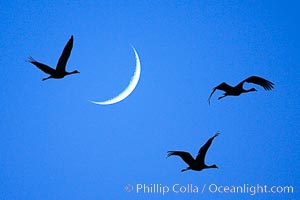 Sandhill cranes fly across a crescent moon.  A composite image formed from two photographs, taken a few moments apart, at sunset, Bosque del Apache National Wildlife Refuge, Grus canadensis, Socorro, New Mexico