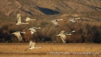 Sandhill cranes in flight in early morning light, Grus canadensis, Bosque del Apache National Wildlife Refuge, Socorro, New Mexico