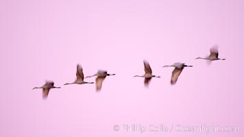 Sandhill cranes, blurred by long time exposure, fly through colorful twilight skies, Grus canadensis, Bosque del Apache National Wildlife Refuge, Socorro, New Mexico
