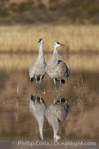 Two sandhill cranes, reflected in mirror-still waters at sunrise, Grus canadensis, Bosque del Apache National Wildlife Refuge, Socorro, New Mexico
