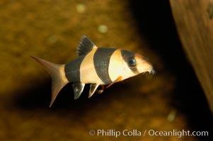 Clown loach, a freshwater fish native to Indonesia (Sumatra and Borneo), Botia macracanthus