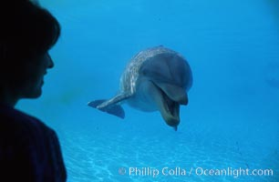 Pacific  bottlenose dolphin, Tursiops truncatus, Maui