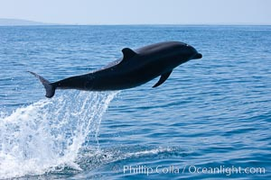 Bottlenose dolphin, leaping over the surface of the ocean, offshore of San Diego, Tursiops truncatus