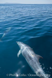 Bottlenose dolphin, swimming just below the surface of the glassy ocean, offshore of San Diego, Tursiops truncatus