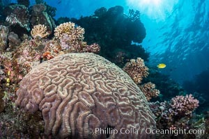 Symphyllia brain coral on tropical coral reef, Fiji. Vatu I Ra Passage, Bligh Waters, Viti Levu  Island, Fiji, Symphyllia, natural history stock photograph, photo id 31327