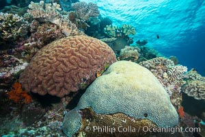 Brain corals on tropical coral reef, Mount Mutiny, Bligh Waters, Fiji. Left brain coral is Symphllia, right bain coral is Platygyra lamellina, Symphyllia, Platygyra lamellina, Vatu I Ra Passage