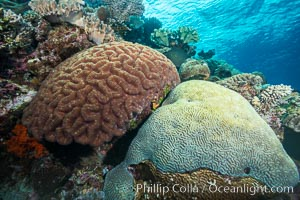 Brain corals on tropical coral reef, Fiji. Left brain coral is Symphllia, right bain coral is Platygyra lamellina, Symphyllia, Platygyra lamellina, Vatu I Ra Passage, Bligh Waters, Viti Levu  Island