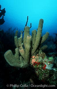 Branching vase sponge, Callyspongia vaginalis, Roatan