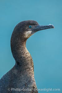Brandt's cormorant. La Jolla, California, USA, natural history stock photograph, photo id 30417
