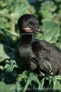 Brandts cormorant, Phalacrocorax penicillatus, La Jolla, California