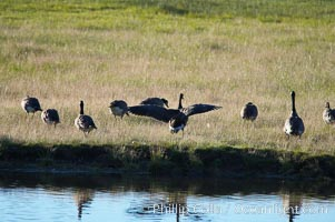Canada geese along the Yellowstone River, Branta canadensis, Hayden Valley, Yellowstone National Park, Wyoming