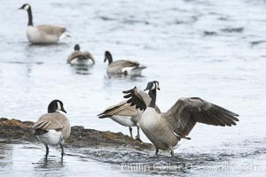 Canada geese on the Yellowstone River. Yellowstone River, Yellowstone National Park, Wyoming, USA, Branta canadensis, natural history stock photograph, photo id 19570