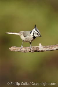 Bridled titmouse, Baeolophus wollweberi, Madera Canyon Recreation Area, Green Valley, Arizona