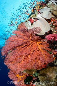 Bright red sea fan gorgonian and yellow sarcophyton leather coral on pristine coral reef, Fiji, Sarcophyton, Gorgonacea, Plexauridae