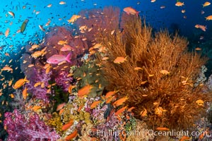Brilliantlly colorful coral reef, with swarms of anthias fishes and soft corals, Fiji, Pseudanthias