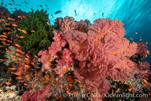 Brilliantlly colorful coral reef, with swarms of anthias fishes and soft corals, Fiji, Dendronephthya, Gorgonacea, Pseudanthias