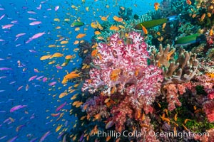 Brilliantlly colorful coral reef, with swarms of anthias fishes and soft corals, Fiji, Dendronephthya, Pseudanthias, Bligh Waters
