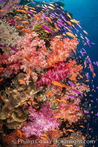 Brilliantlly colorful coral reef, with swarms of anthias fishes and soft corals, Fiji, Dendronephthya, Pseudanthias