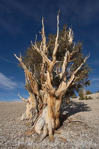 Bristlecone pine rising above the arid, dolomite-rich slopes of the White Mountains at 11000-foot elevation. Patriarch Grove, Ancient Bristlecone Pine Forest., Pinus longaeva,  Copyright Phillip Colla, image #17476, all rights reserved worldwide.