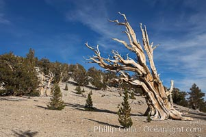 Bristlecone pines rising above the arid, dolomite-rich slopes of the White Mountains at 11000-foot elevation. Patriarch Grove, Ancient Bristlecone Pine Forest., Pinus longaeva,  Copyright Phillip Colla, image #17479, all rights reserved worldwide.