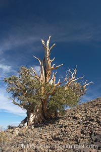 Bristlecone pine tree. Near Schulman Grove, Ancient Bristlecone Pine Forest, Pinus longaeva, White Mountains, Inyo National Forest