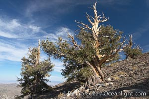 Bristlecone pine trees. Near Schulman Grove, Ancient Bristlecone Pine Forest, Pinus longaeva, White Mountains, Inyo National Forest