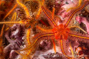 Brittle sea stars (starfish) spread across the rocky reef in dense numbers. Santa Barbara Island, California, USA, Ophiothrix spiculata, natural history stock photograph, photo id 10153