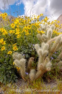 Brittlebush blooming in spring surrounds a cholla cactus, Palm Canyon, Encelia farinosa, Opuntia, Anza-Borrego Desert State Park, Anza Borrego, California
