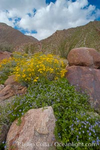 Brittlebush (yellow) and wild heliotrope (blue) bloom in spring, Palm Canyon, Encelia farinosa, Phacelia distans, Anza-Borrego Desert State Park, Anza Borrego, California
