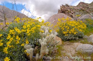 Brittlebush blooming in spring surrounds a cholla cactus, Palm Canyon. Anza-Borrego Desert State Park, Borrego Springs, California, USA, Encelia farinosa, Opuntia, natural history stock photograph, photo id 10473