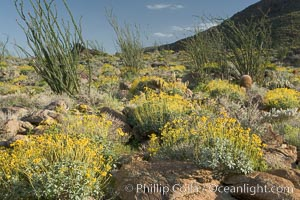 Brittlebush, ocotillo and various cacti and wildflowers color the sides of Glorietta Canyon.  Heavy winter rains led to a historic springtime bloom in 2005, carpeting the entire desert in vegetation and color for months. Anza-Borrego Desert State Park, Borrego Springs, California, USA, Encelia farinosa, Fouquieria splendens, natural history stock photograph, photo id 10917
