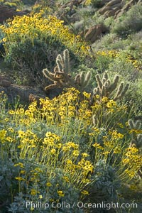 Brittlebush and various cacti and wildflowers color the sides of Glorietta Canyon.  Heavy winter rains led to a historic springtime bloom in 2005, carpeting the entire desert in vegetation and color for months, Encelia farinosa, Anza-Borrego Desert State Park, Borrego Springs, California